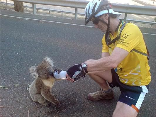 koala_ciclista01